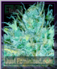 Emerald Triangle Sour Puss Feminised 5 Seeds